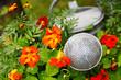 zinc watering can admist blooming nasturtium 01