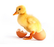 The yellow small duckling with egg