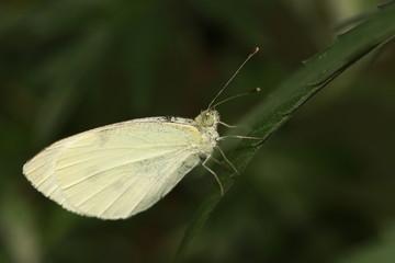 Kleiner Kohlweißling - Pieris rapae