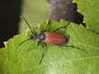 Blood-red long horn beetle (Anastrangalia sanguinolenta)