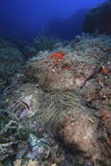 stella marina rossa mediterraneo