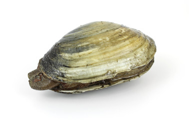 Single soft-shell clam from polluted mud flat