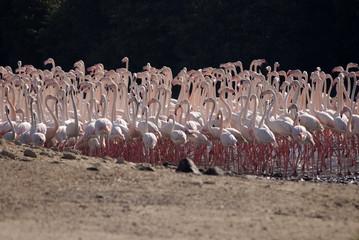 Flamingoes family