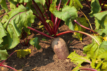 Red beetroot in the garden on the sunny day