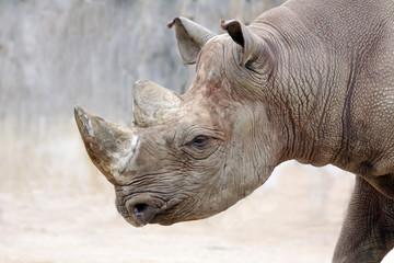 Nashorn von der Seite
