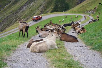 Animals Blocking Mountain Road