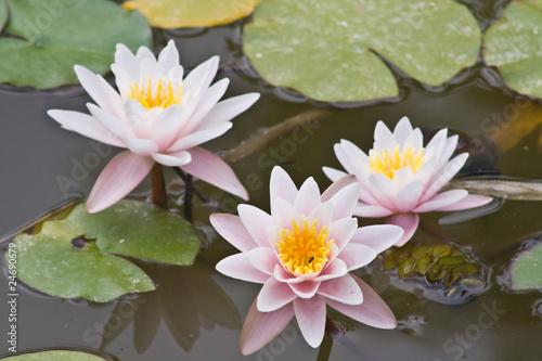 Aluminium Water planten Montpellier (Herault) - Fleurs de nénuphar