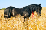 Pretty black horse in golden field with red ribbon in mane poster