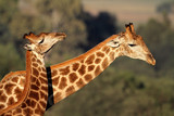Interaction between two giraffes, South Africa poster
