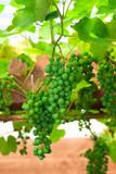 green unripe grape poster