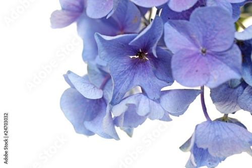 hortensien blüte makro hintergrund