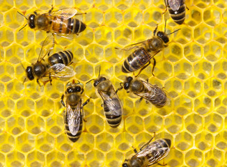 The bees build honeycombs