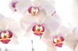 Blüten einer weiße Orchidee