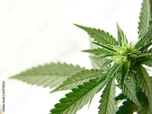 Cannabis - 24719636