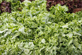 Green leaf lettuce display