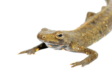 animal chinese salamander isolated