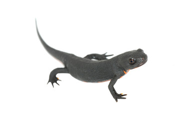 animal fire salamander isolated