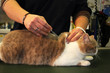vaccination du chat british shorthair
