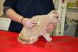auscultation d'un chat par le vétérinaire