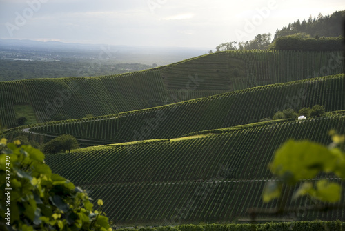 vineyards with trees and a blue sky