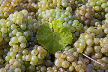 white grapes with a leaf in between