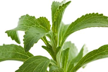 Süßkraut - Stevia rebaudiana