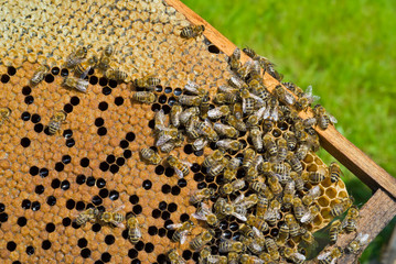 Bees on honeycomb 2