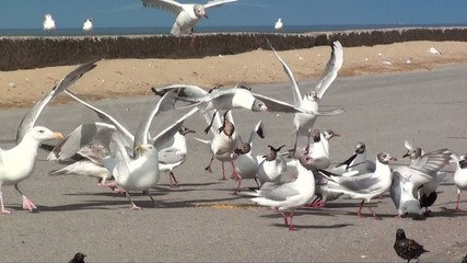 Vicious Seagull