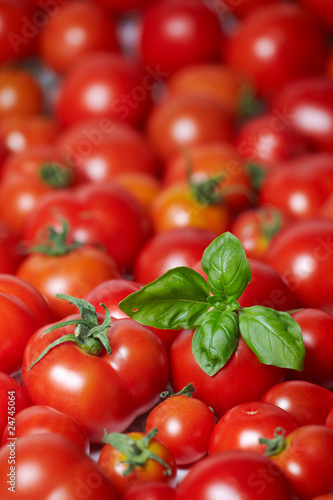 freshly gathered tomatoes with basil 03