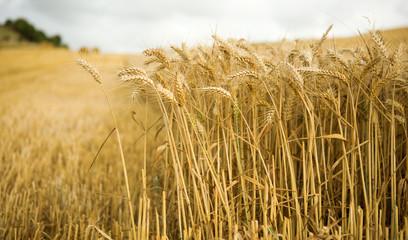 Field of ripe golden wheat spikes