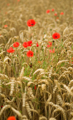 Wheat spikes and beautiful blossoming poppies