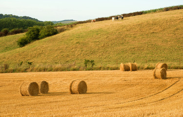 Golden hay bales and cows in the countryside