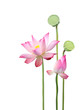 lotus flower and seedpod - 24750444