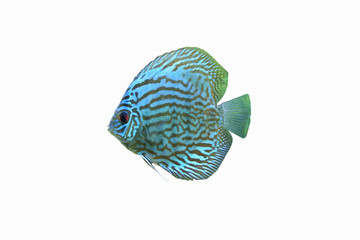 Blue Discus Tropical Aquarium Fish 1