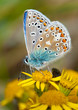 Quadro Common Blue butterfly