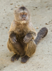 Capuchin Weeper Monkey sitting on the ground