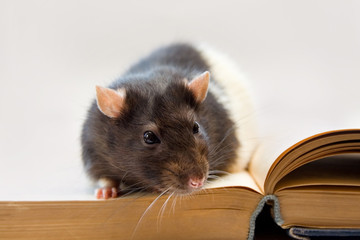 Home rat sitting on a book