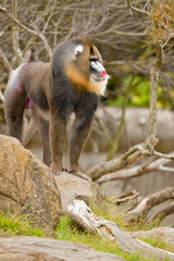Mandrill (Mandrillus sphinx), primate with colorful face