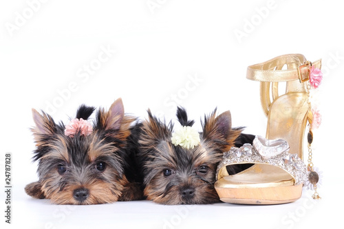 Poster Two yorkshire terrier puppies
