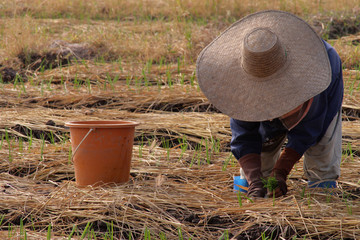 farmer of thailand