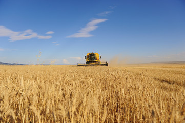 Campos de cereal y cosechadora