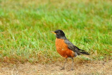 American robin looking for food