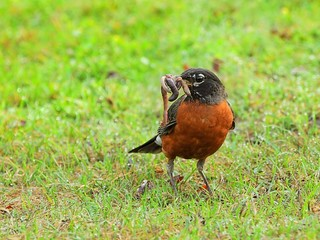 Hearty breakfast for the American Robin