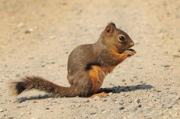 Douglas squirrel snacking