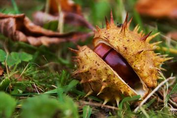 Horse chestnut in shell