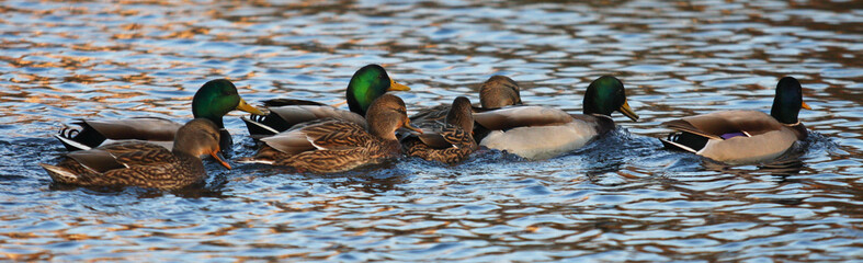 A Group of Mallard Ducks