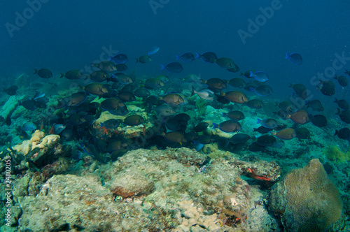 School Surgeonfish, Doctorfish and Blue Tangs