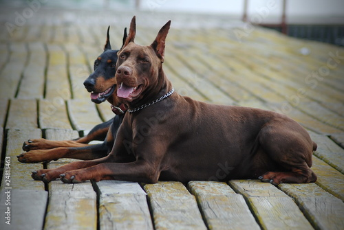 two beautiful doberman
