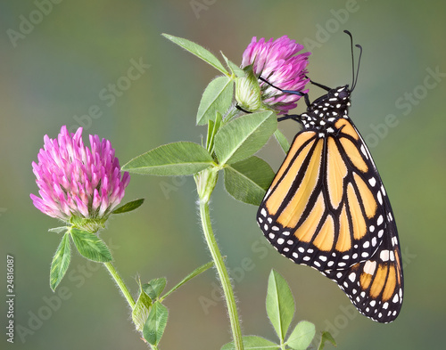 Deurstickers Vlinder Monarch on Clover