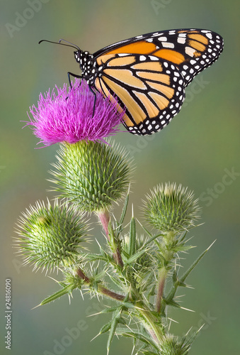 Monarch on bull thistle